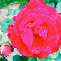 Cristall Rose